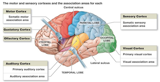 cortex-brain